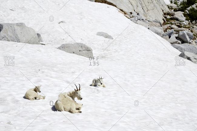 Mountain goats laying on snowy hillside, Leavenworth, Washington, USA
