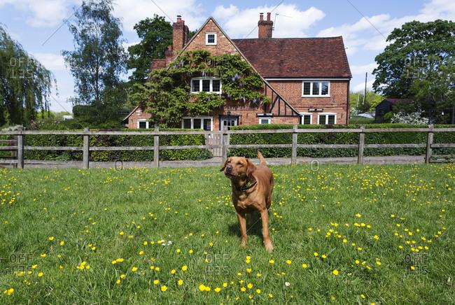 Dog playing in field in rural neighborhood, Beaconsfield, Buckinghamshire, UK