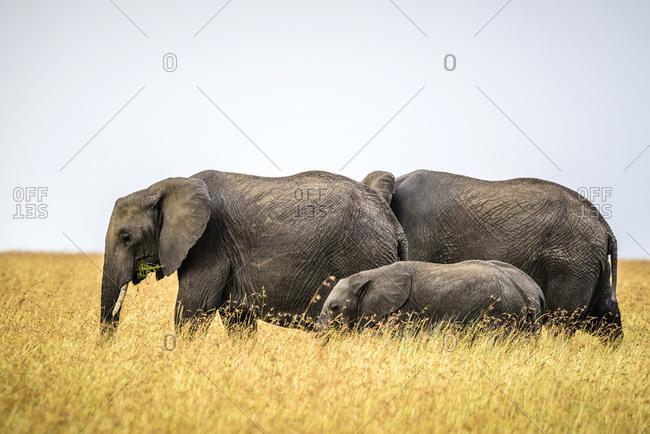 Elephants and calf walking in savanna, Kenya, Africa