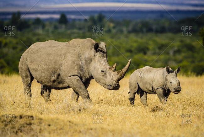 Rhinoceros and calf walking in savanna landscape, Kenya, Africa