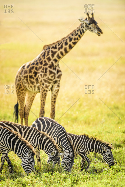 Giraffes and zebra grazing in savanna, Kenya, Africa