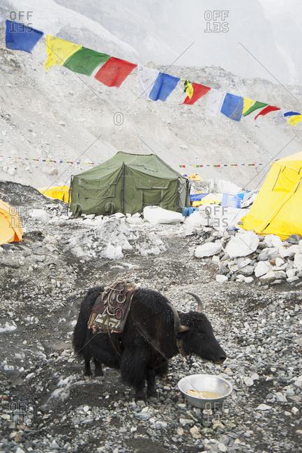 April 10, 2019: Yak eating from bowl at base camp, Everest, Khumbu region, Nepal