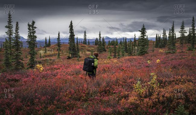 Asian man hiking near trees in landscape, Denali, AK, USA