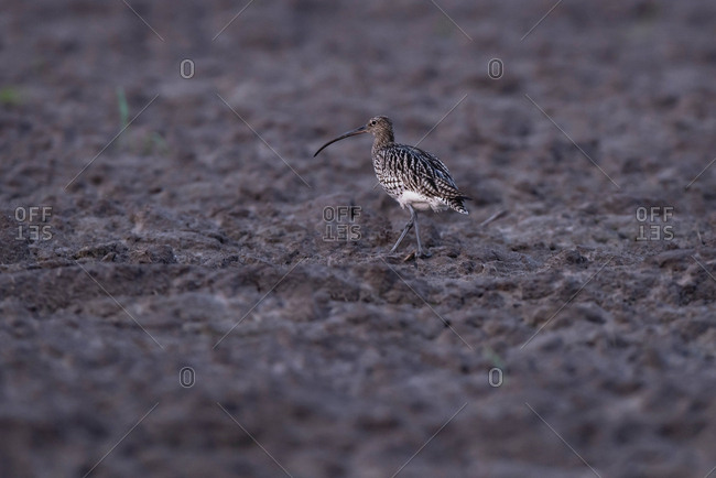 Long-billed Curlew walking in the mudflats at dusk