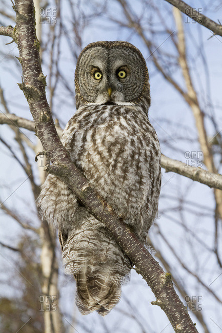 Close Up Of A Great Gray Owl Perched In A Tree, Anchorage, South-central Alaska, Winter