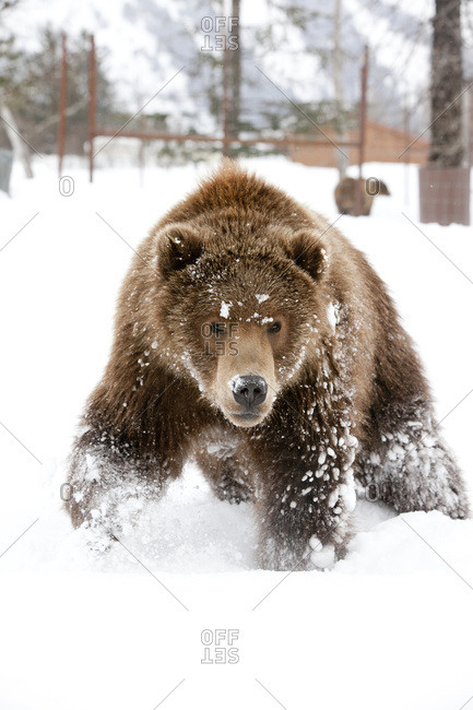 Captive: Kodiak Brown Bear Rushes Through Fresh Snow, Alaska Wildlife Conservation Center, South-central Alaska, Winter. Digitally Altered