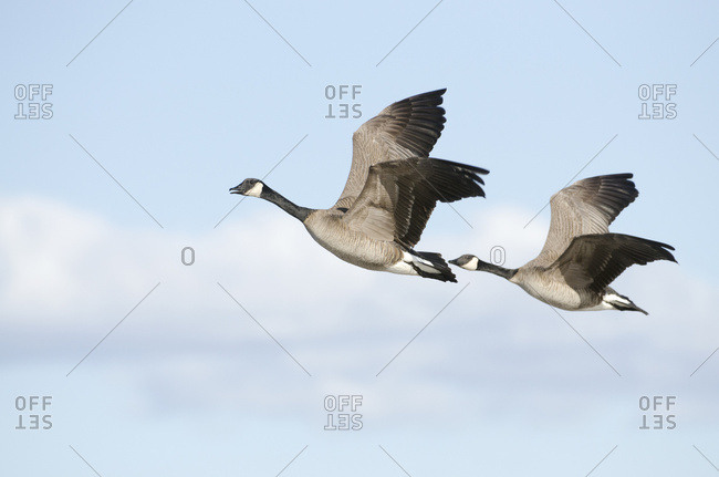 Pair Of Canada Geese Flying In Tandem Over Creamer's Field Migratory Waterfowl Refuge, Fairbanks, Interior Alaska, Spring