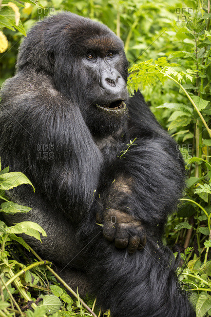 A gorilla sitting in the lush foliage; Northern Province, Rwanda