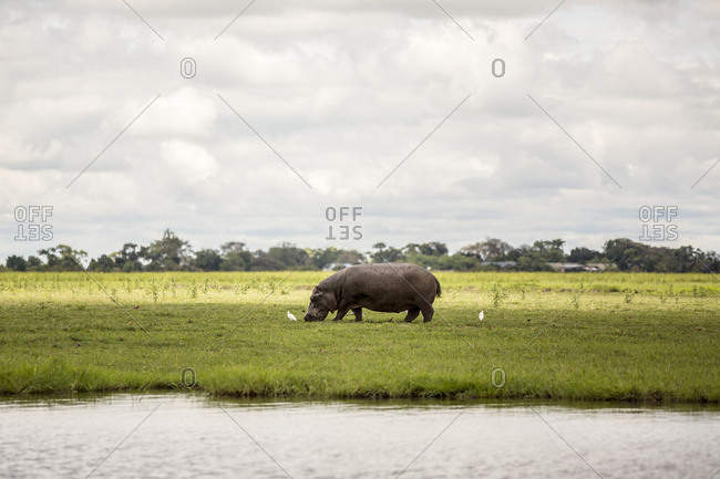 A rhinoceros grazing on grass with birds beside the Chobe River in Chobe National Park; Botswana