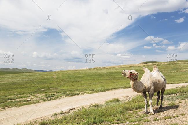 A camel standing beside a dirt road; Ulaanbaatar, Ulaanbattar, Mongolia