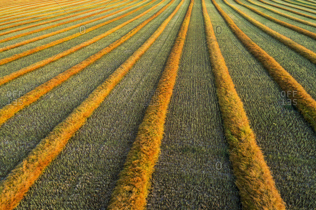 Artist aerial views of canola harvest lines glowing at sunset; Blackie, Alberta, Canada