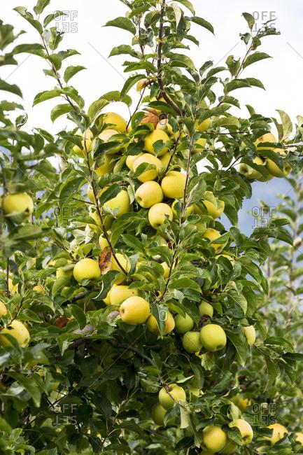 Golden apples on a tree; Caldaro, Bolzano, Italy