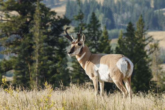 Pronghorn (Antilocapra americana) standing in grass, Yellowstone National Park; Wyoming, United States of America