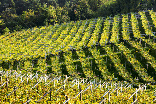 Rows of grapevines on rolling hills; Calder, Bolzano, Italy