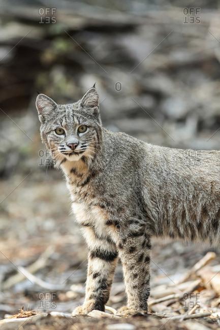 Bobcat (Lynx rufus) hunting in Yosemite National Park; California, United States of America