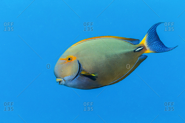 An Eyestripe Surgeonfish (Acanthurus dussumieri) swims by in the bright blue Pacific Ocean water off the Kona coast; Island of Hawaii, Hawaii, United States of America