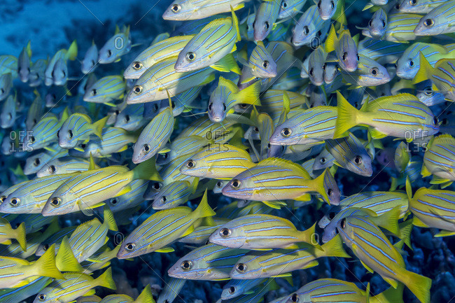 Schooling Bluestripe Snappers (Lutjanus kasmira), a species deliberately introduced into Hawaian waters and now considered invasive, off the Kona coast; Island of Hawaii, Hawaii, United States of America