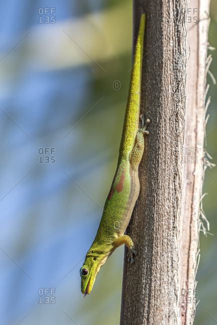 This gold dust day gecko (Phelsuma laticauda) resting on a palm tree was photographed on the Kona coast of the Big Island, Hawaii, where it is an introduced species; Island of Hawaii, Hawaii, United States of America