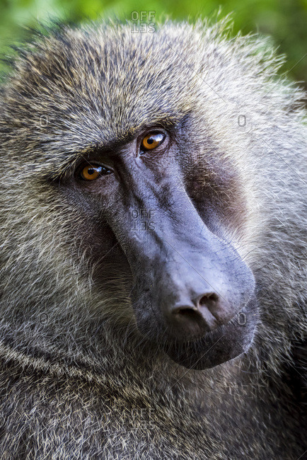 Close-up of male olive baboon (Papio anubis) looking at the camera; Tanzania