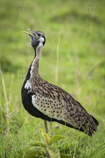 Black-bellied bustard (Lissotis melanogaster) with open beak in grass, Ngorongoro Crater; Tanzania