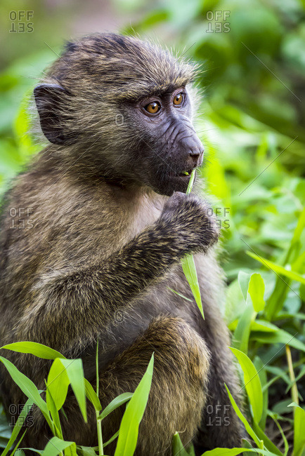 Close-up of baby olive baboon (Papio anubis) eating leaf; Tanzania
