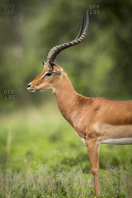 Close-up of male impala (Aepyceros melampu) standing in profile, Serengeti National Park; Tanzania