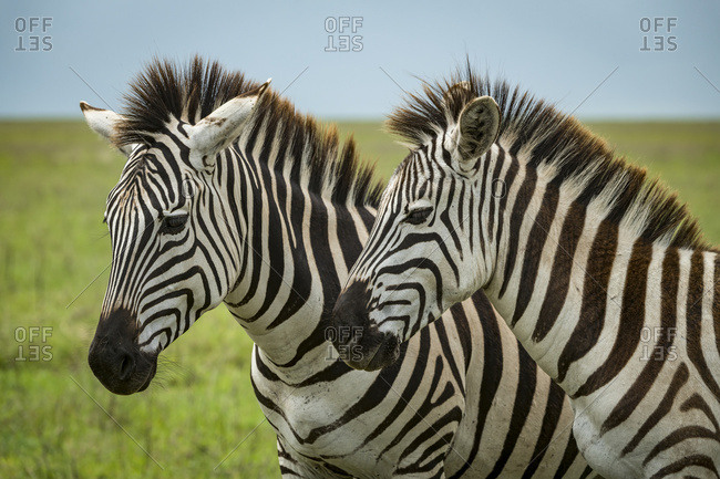 Close-up of two plains zebra (Equus quagga) standing side-by-side, Ngorongoro Crater; Tanzania