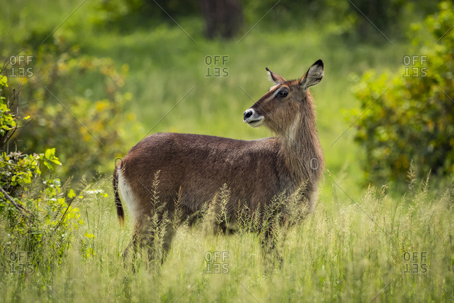 Female waterbuck (Kobus ellipsiprymnus) turning head on grassy plain, Serengeti National Park; Tanzania