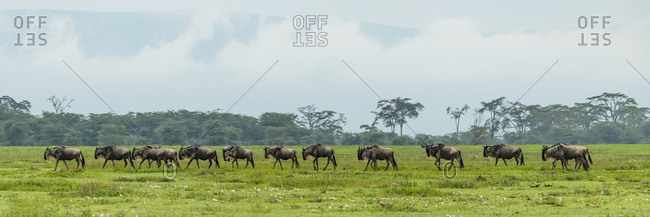 Line of white-bearded wildebeest (Connochaetes taurinus) cross grassy meadow, Ngorongoro Crater; Tanzania