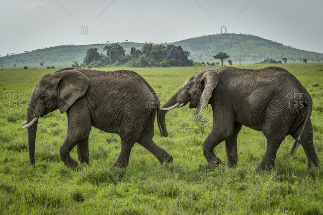 One African elephant (Loxodonta africana) follows another on grassland, Serengeti National Park; Tanzania