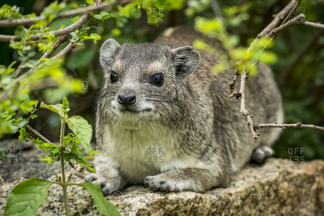 Rock hyrax (Procavia capensis) hiding on stone amongst leaves, Serengeti National Park; Tanzania