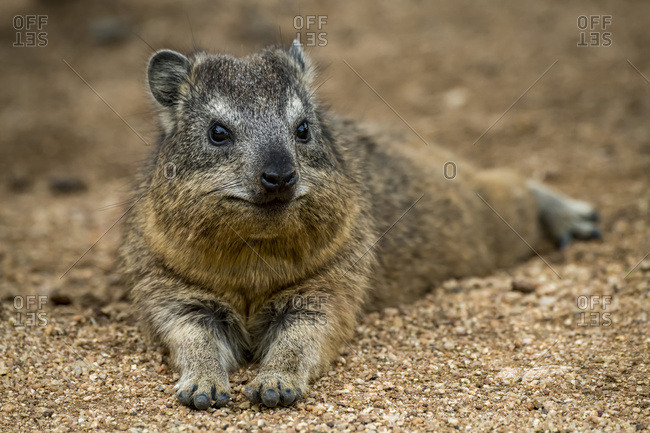 Rock hyrax (Procavia capensis) lying down facing camera on gravel, Serengeti National Park; Tanzania