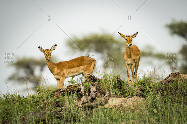 Two female impala (Aepyceros melampus) looking down from ridge, Serengeti National Park; Tanzania