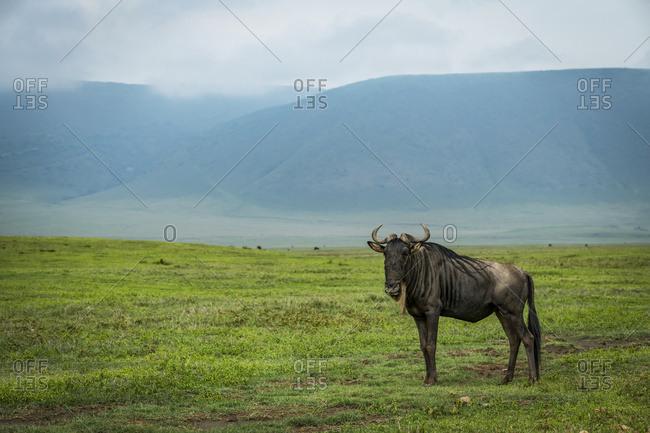 White-bearded wildebeest (Connochaetes taurinus) on grassland with hills behind, Ngorongoro Crater; Tanzania
