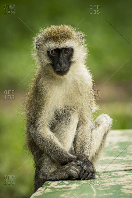 A vervet monkey (Chlorocebus pygerythrus) sits on a green painted wall looking at the camera with it's hands resting at it's feet. It has brown eyes, a black face and brown and black fur. Taken in Tarangire National Park; Tanzania
