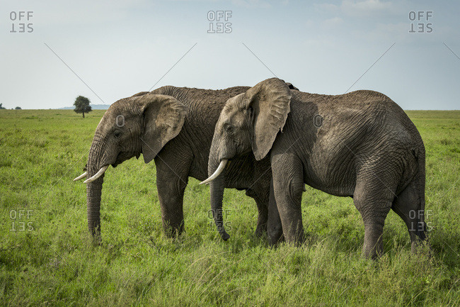 Two African elephants (Loxodonta africana) side-by-side in lush grassland, Serengeti National Park; Tanzania