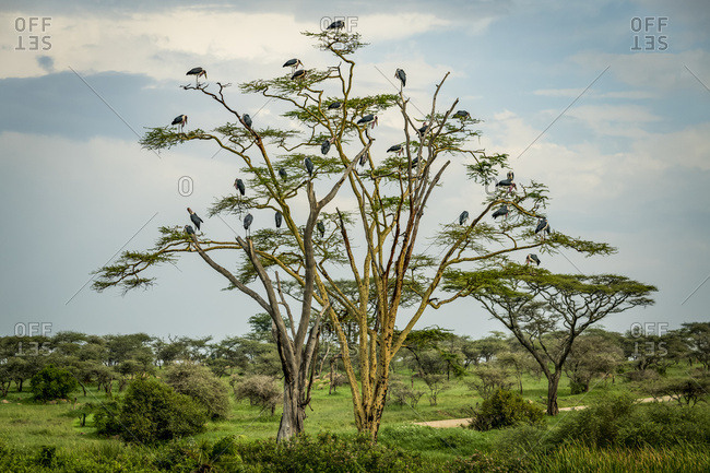 Flock of marabou storks (Leptoptilos crumenifer) perched in tree, Serengeti National Park; Tanzania