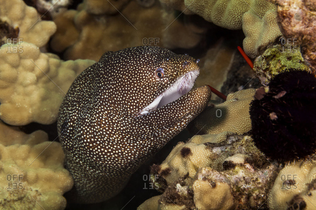 Close-up Of A Whitemouth Moray Eeel (Gymnothorax meleagris); Maui, Hawaii, United States of America