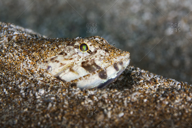 Close-up of a Lizardfish (Synodontidae) buried in the sand; Maui, Hawaii, United States of America
