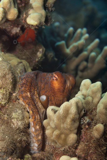 Hawaiian Day Octopus (Octopus cyanea) hiding in the reef; Maui, Hawaii, United States of America