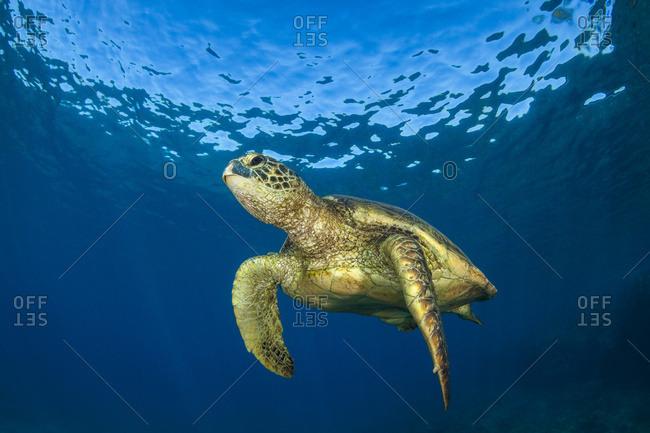 Hawaiian Green Sea Turtle (Chelonia mydas); Maui, Hawaii, United States of America