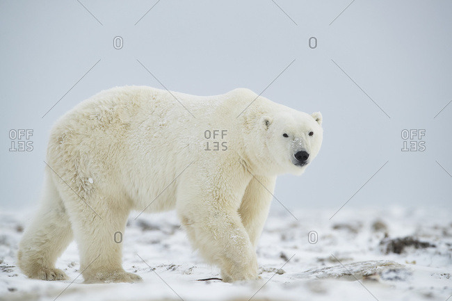 Polar bear (Ursus maritimus) walking in the snow; Churchill, Manitoba, Canada