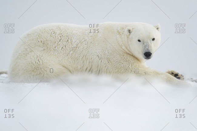 Polar bear (Ursus maritimus) laying in the snow; Churchill, Manitoba, Canada