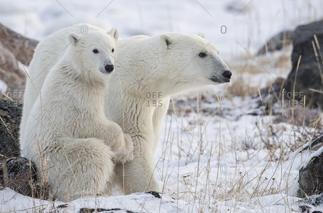 Mother and cub Polar bears (Ursus maritimus) sitting in the snow; Churchill, Manitoba, Canada