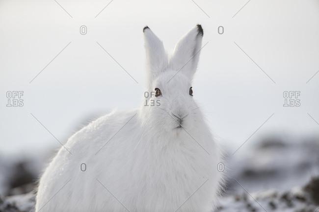 Arctic hare (Lepus arcticus) in the snow; Churchill, Manitoba, Canada