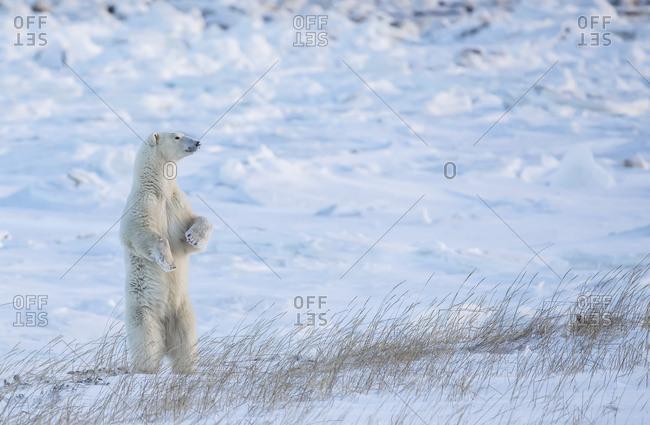 Polar bear (Ursus maritimus) standing in the snow looking beautiful; Churchill, Manitoba, Canada