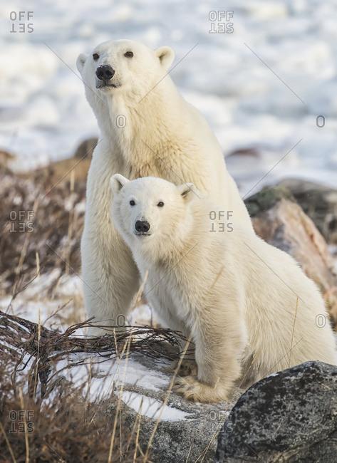 Mother and cub Polar bears (Ursus maritimus) sitting in the snow; Churchill, Manitoba, Canada