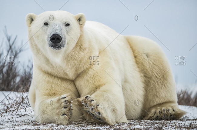 Polar bear (Ursus maritimus) lying in the snow looking at the camera; Churchill, Manitoba, Canada
