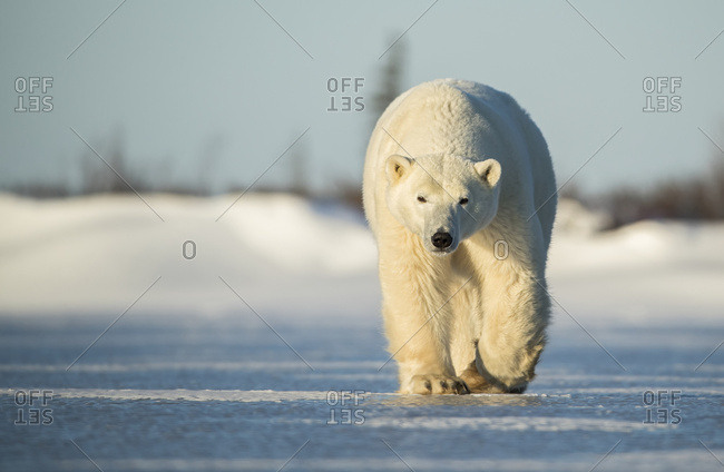 Polar bear (Ursus maritimus) walking on the ice; Churchill, Manitoba, Canada