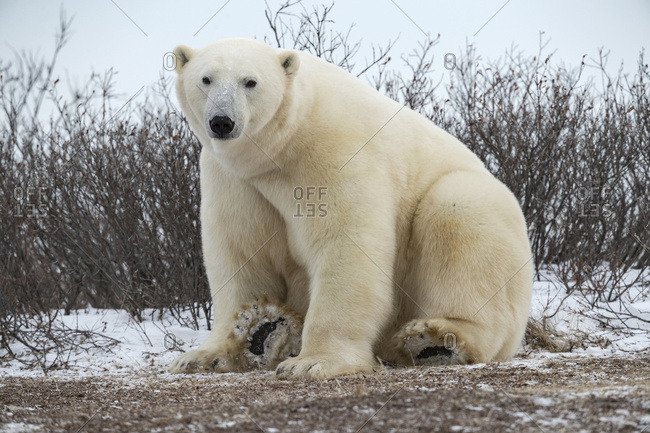 Large Polar bear (Ursus maritimus) sitting in the snow looking at the camera; Churchill, Manitoba, Canada